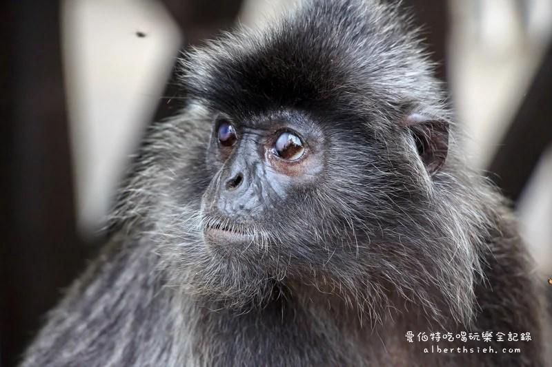 銀葉猴(silverLeaf)