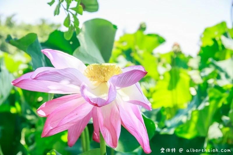 桃園觀音蓮花季一日遊
