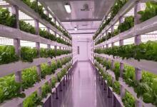 صورة السعودية تتجه نحو الزراعة العمودية حفاظا على الأمن الغذائي