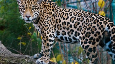 Photo of International Day Of Jaguar does exist !