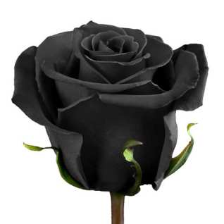 black-rose-stem