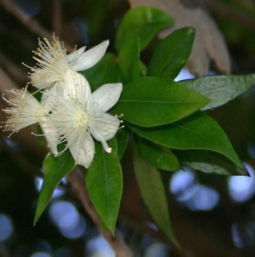 Mirto, una de las plantas presentes en la obra de Cervantes