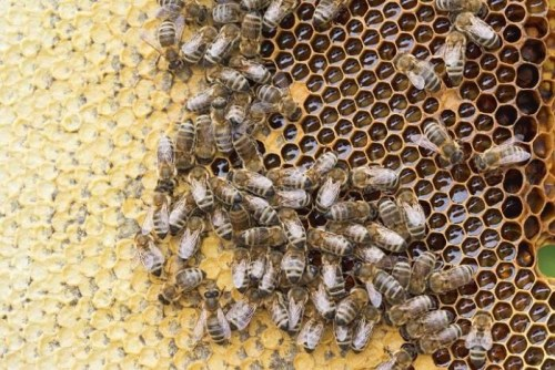 Un panal de 25.000 abejas