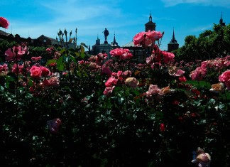 El amanecer de las rosas cervantinas en Alcalá de Henares