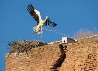 Cigüeña enganchada con una cuerda en las ruinas del Palacio Arzobispal