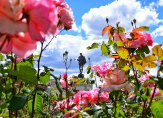 Rosas de mayo en la Plaza de Cervantes