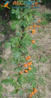 crataegus monogyna valeria fossa- alcedo4