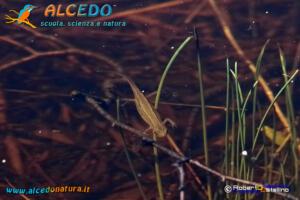Tritone punteggiato (Triturus vulgaris)