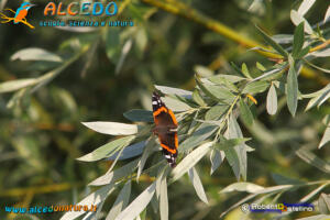 Coppia di Volpoche (Tadorna tadorna) con Nutria (Myocastor coypus)