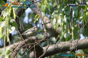 giovane di Cinciarella (Cyanistes caeruleus)