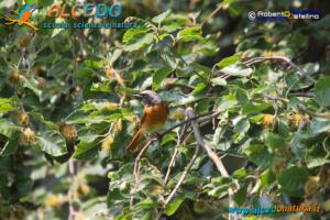 Codirosso comune maschio (Phoenicurus phoenicurus)