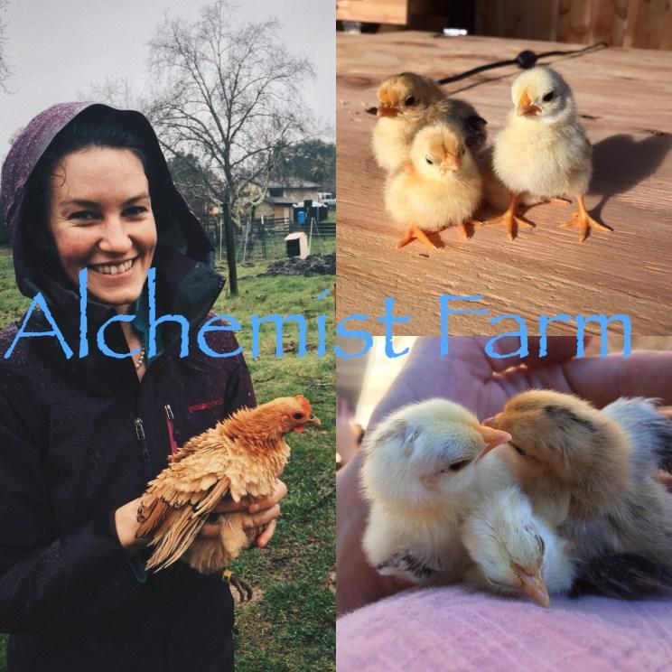 Frizzle Serama in the Chicken wranglers arms Alchemist Farm Sebastopol California