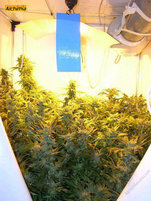 Cultivo de marihuana en armarios de cultivo share como cultivar marihuana en armarios de cultivo - Armarios para cultivo interior ...