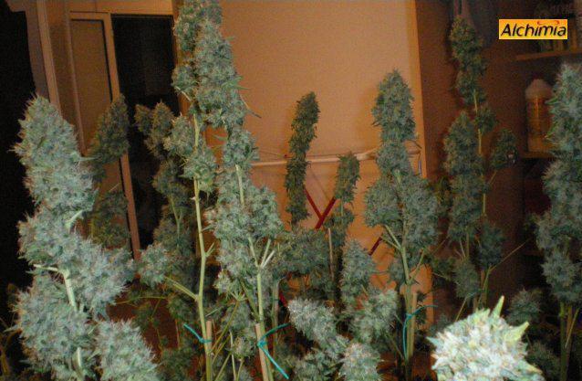 Rcolte Du Cannabis Blog Du Growshop Alchimia