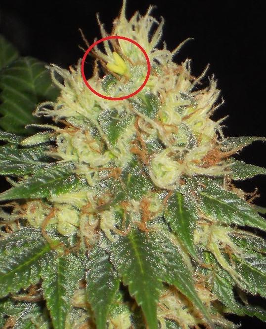 Cannabis Et Hermaphrodisme Blog Du Growshop Alchimia