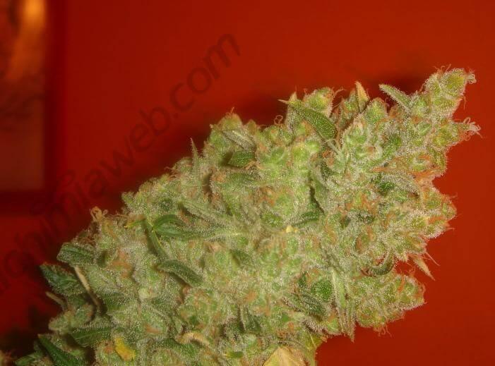 Northern Lights Cannabis Seeds