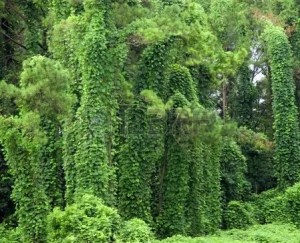 Kudzu and alcohol