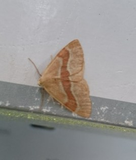 Barred Red - red