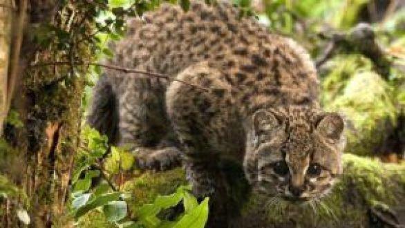 La guiña el gato tigre americano