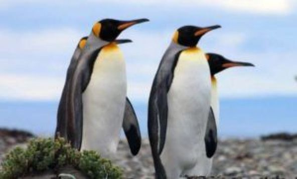 El Pingüino rey en peligro