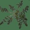 Η παπαρούνα, χορταρικό που μαζεύουμε από τα χωράφια