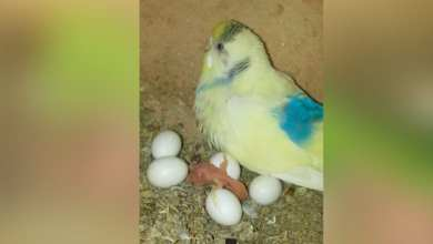 Photo of Budgies eggs hatching time