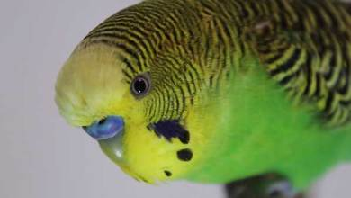 Photo of Budgies: The Last Animal You Would Assume Could Take Over The World [Alen AxP]