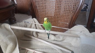 Photo of Adopting a Budgie – and a Friend