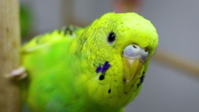 Photo of Top 5 Facts about Budgerigars [Alen AxP]