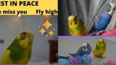 Photo of Budgies – Tweety and Blu