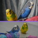 yellow-and-blue-budgie