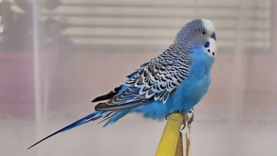Photo of Budgie Facts – 14 Amazing Facts