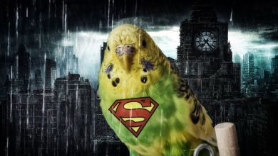 Photo of SUPERHERO BUDGIE BIRD! What if?