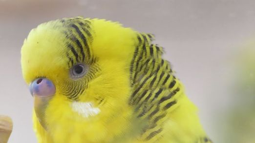 budgie facts