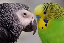 Photo of African Grey Parrot and Budgie keeping together is it possible?
