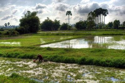 Cambogia, risaie