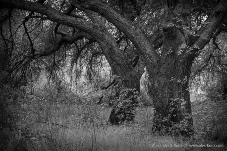 Two Live Oaks at Boden Canyon, Ramona, San Diego County, CA. March 2013.