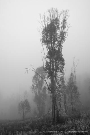 Eucalyptus trees in fog in the hills around 4S Ranch, San Diego, CA. October 2013.
