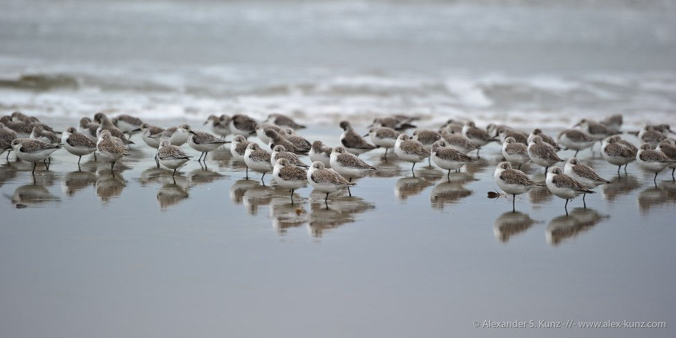 A grain of Sanderlings at Seaside State Beach, Cardiff By The Sea, California. December 2010.