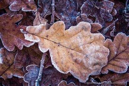 Frost on Oak foliage