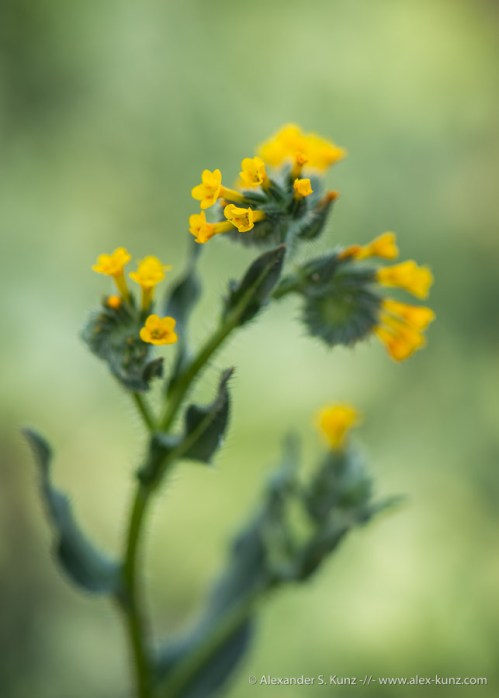 Common Fiddleneck, San Dieguito River Park, Rancho Bernardo, CA. February 2015.