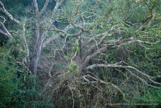 Chaotic array of Coast Live Oak & bare Poison Oak twigs at Los Penasquitos Canyon, San Diego, California. December 2012.