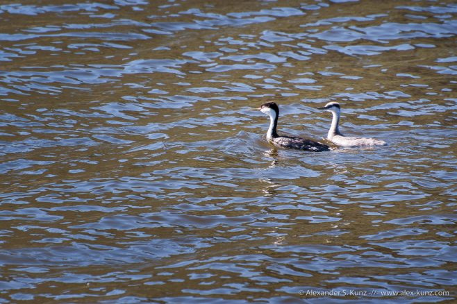 Western Grebes at Lake Hodges, San Diego. Adult with chick.
