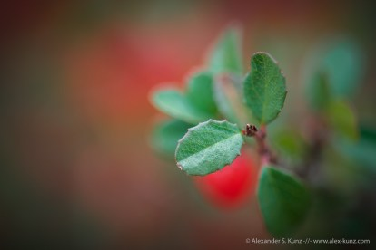 Rhamnus crocea (Spiny Redberry) Leaves -- San Dieguito River Park, San Diego, California, United States