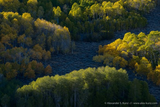 Sidelight on autumnal Aspens at Dunderberg Meadows near Lee Vining, Mono County, CA. October 2014.