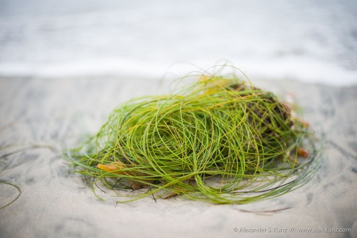 Surfgrass -- Seaside Beach, Cardiff By The Sea, California, United States