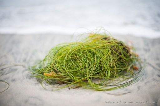 Surfgrass -- Seaside Beach, Cardiff By The Sea, California, United States