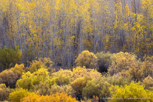 Aspens & Willows -- Conway Summit, Bridgeport, California, United States