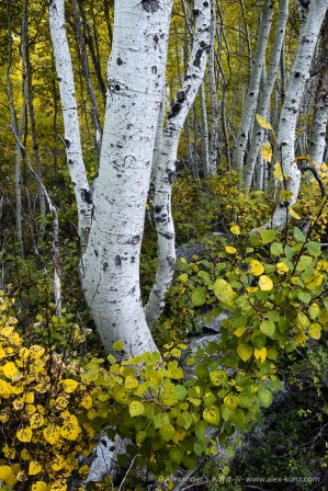 Aspens Dance -- Silver Lake, June Lake, California, United States