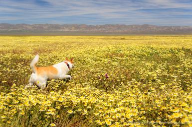 Flower Explorer -- Carrizo Plain, San Luis Obispo County, California, USA